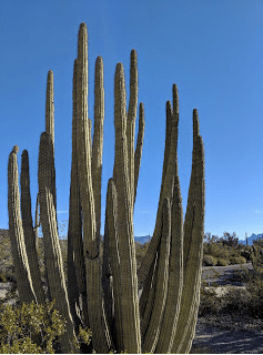The eponymous Organ Pipe cactus, the only place it is found in the U.S.