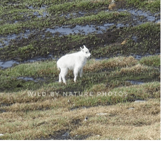 My first mountain goat sighting, on the Beartooth Pass.