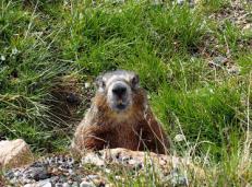 Yellow-bellied marmot.