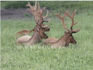 Three sleepy bachelor elk.