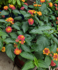 Patio pot lantana, butterfly heaven.