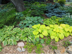 Two hostas become six in 2020.