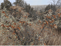 Always interesting to observe the variation of orange buffaloberries rather than the usual red berries. Each bush was loaded with berries, oddly enough considering the drought.