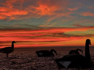 Decoys at dawn. (Jeff Weispfenning photo)