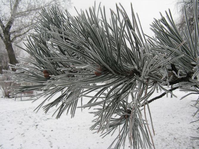Havas fenyőág a téli tájban.