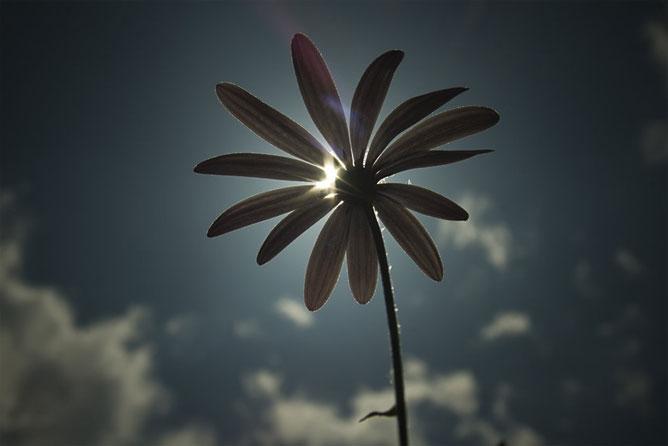 Egy szál virág s mögötte a nap.