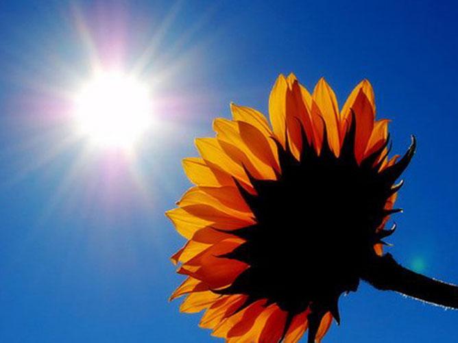 Napraforgó a kék napsütötte égben.