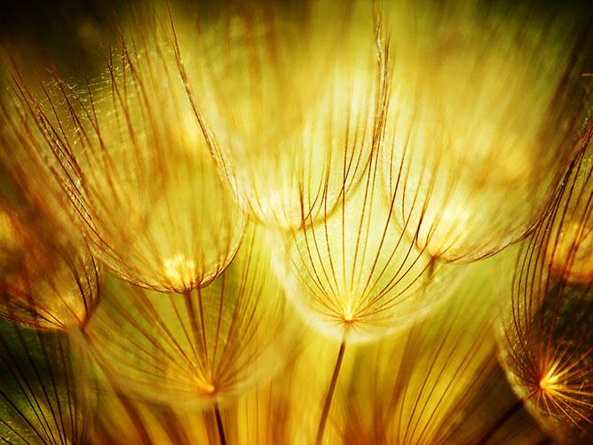 Golden-Dandelion.