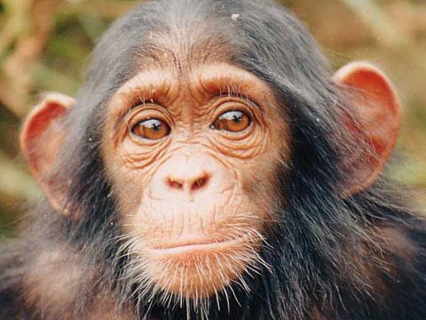 csimpanz.