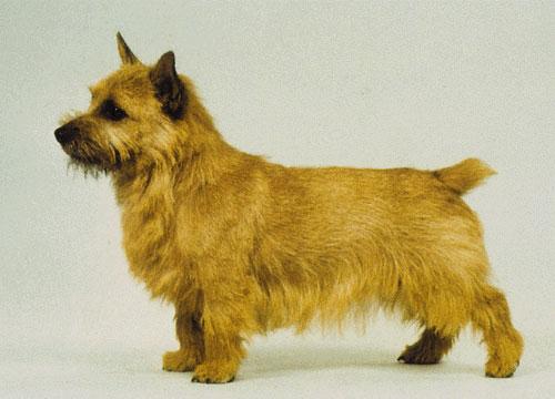 Sárga kutya.