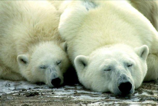 Alvó jegesmedvék.