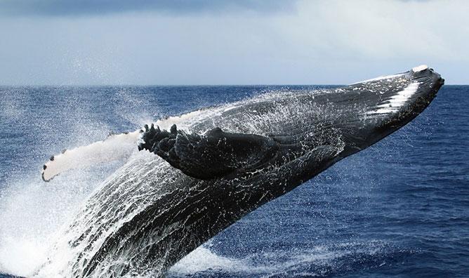 hosszúszárnyú bálna.