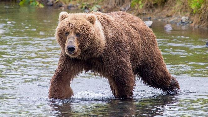 Kodiak-medve.