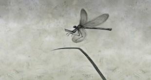 libellula bianco e nero