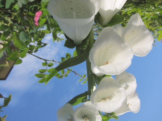 01whitefoxgloves