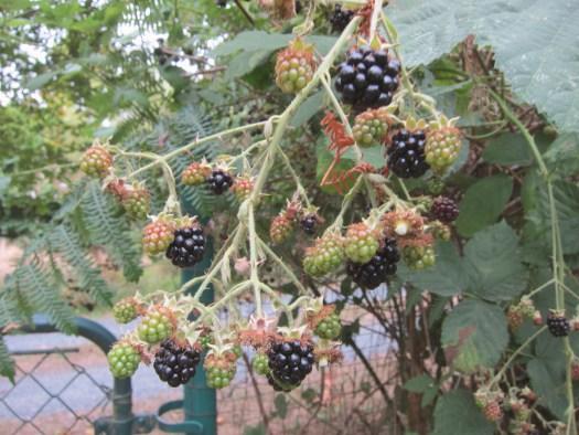 13blackberries