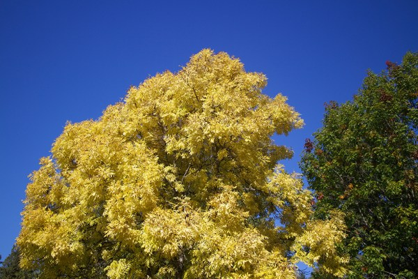 13 yellow tree