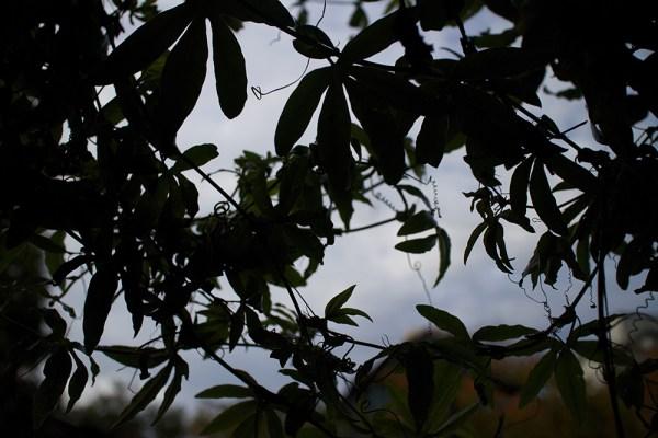 11 passionflower vine
