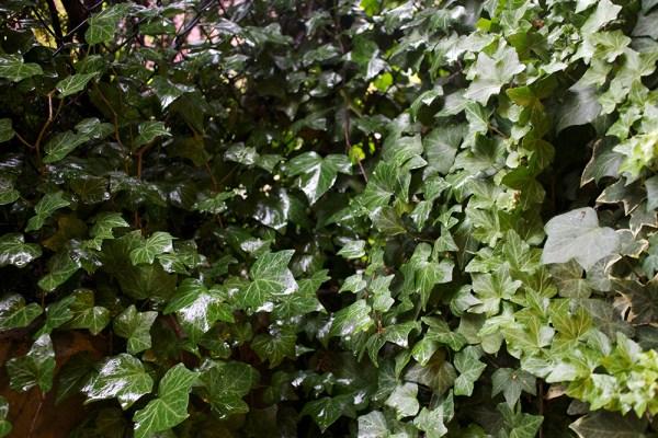 09 ivy