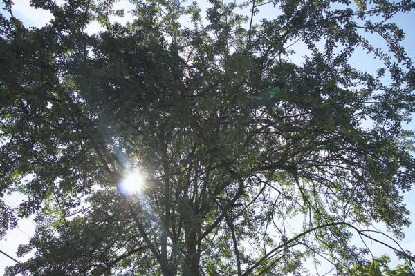 07 hawthorn sun