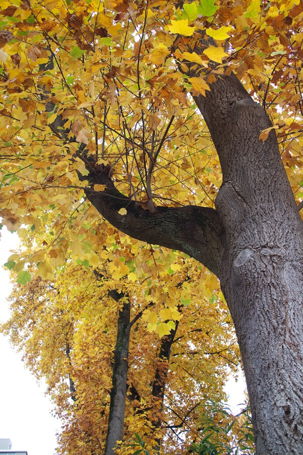 08-yellow-leaves