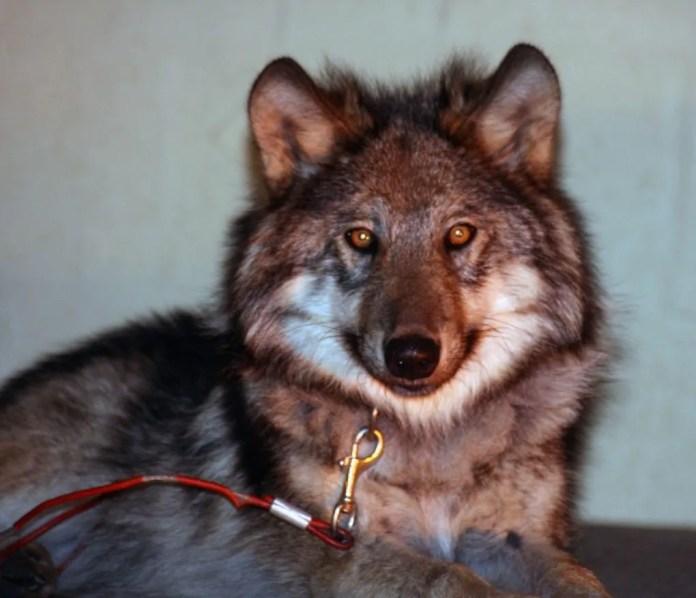 Contes en présence de loups Saint-Malo