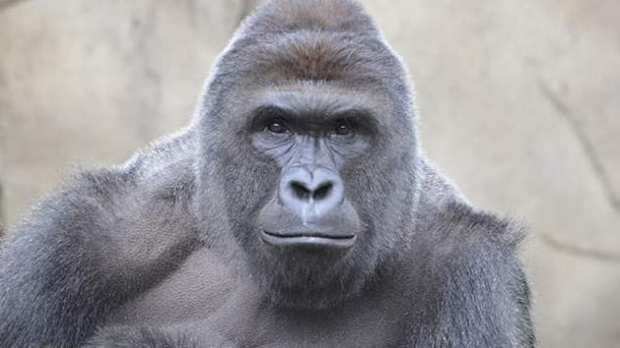 Remembering Harambe One Year After His Death 46383UNILAD imageoptim Cincinnati Zoo