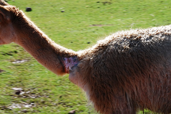 Britains Worst Zoo To Remain Open Despite Deaths Of 500 Animals vicuna