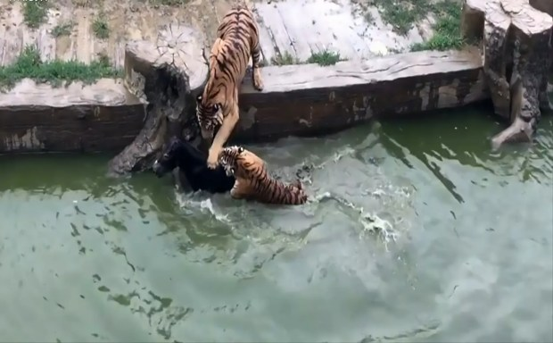 Horrifying Moment Tigers Are Fed A Live Donkey At The Zoo AsiaWire ZooDonkey 07 1