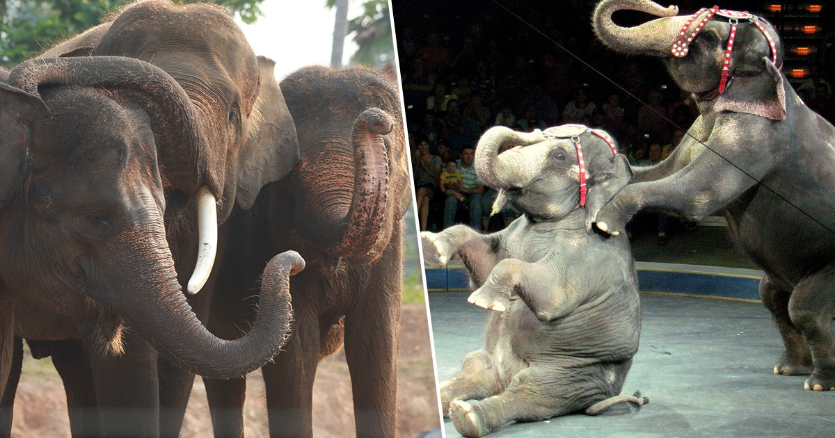 Denmark Buys Countrys Last Remaining Circus Elephants To Let Them Retire