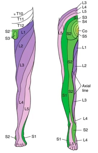 mage result for lower extremity dermatome symptoms