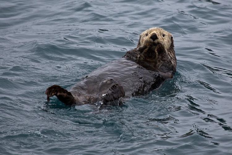 sea otter jewelry