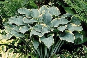 Regal Splendor  Hosta - Uniquely Hostas