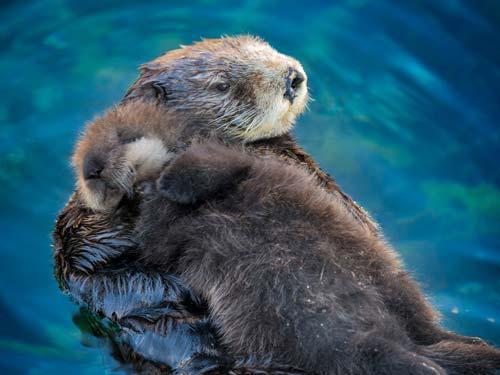 معلومات عن ثعلب البحر بالصور