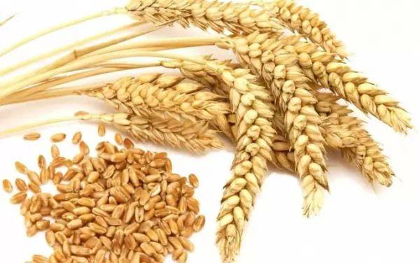 ماهى مكونات وفوائد القمح سحر الكون