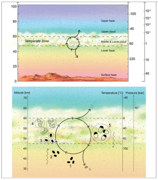 """This figure is from a 2020 paper by some of the same authors of the newly-published paper. It shows a proposed lifecycle for Venusian aerial microbial life.  (1) Desiccated spores (black blobs) persist in the lower haze. (2) Updraft of spores transports them up to the habitable layer. (3) Spores act as CCN, and once surrounded by liquid (with necessary chemicals dissolved) germinate and become metabolically active. (4) Metabolically active microbes (dashed blobs) grow and divide within liquid droplets (solid circles). The liquid droplets grow by coagulation. (5) The droplets reach a size large enough to gravitationally settle down out of the atmosphere; higher temperatures and droplet evaporation trigger cell division and sporulation. The spores are small enough to withstand further downward sedimentation, remaining suspended in the lower haze layer """"depot."""" Image Credit: Seager et al, 2020."""