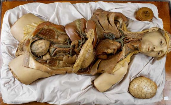 Wax model of the human body