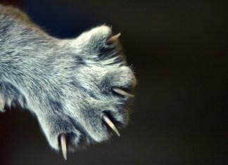 5 Dicas como cortar as unhas do seu gato
