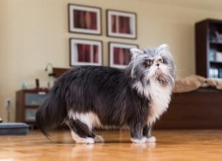 Atchoum o gato lobisomem estranho mas adorável