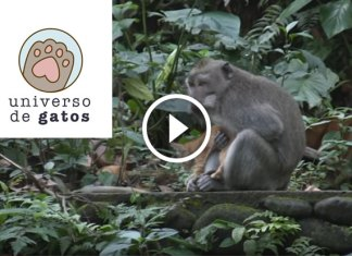 [INCRÍVEL] Um macaco selvagem e um gatinho veja o que aconteceu.