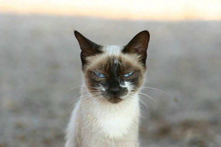 gato siamês