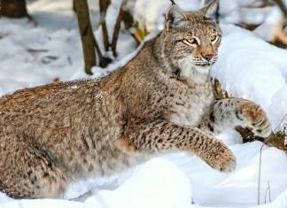 4 sentidos selvagens que os gatos herdaram dos seus antepassados