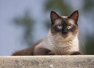 Os diferentes tipos de gatos siameses