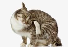 pulgas_nos_gatos