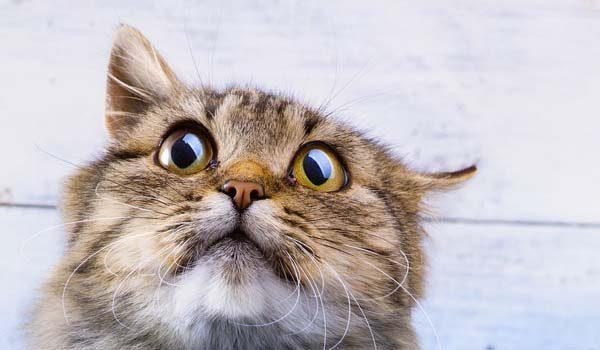 gato stressado