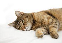 ajudar gato sem apetite a comer