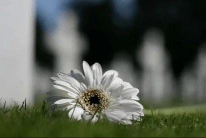 Margherita sul prato di un cimitero