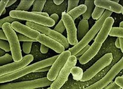 foto di batteri escherechia coli