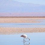 Flamingo in the Chaxa lagoon