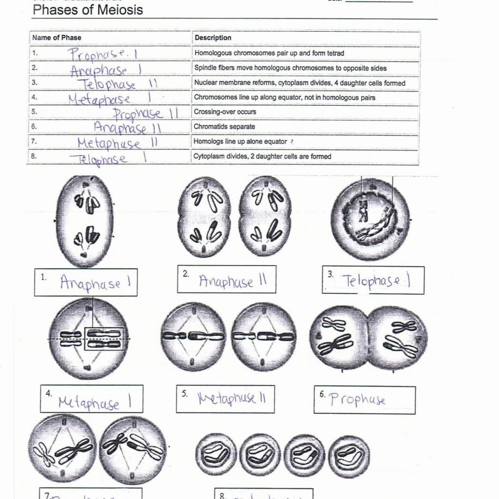 Meiosis Worksheet Teacher Web Answers | Printable ...